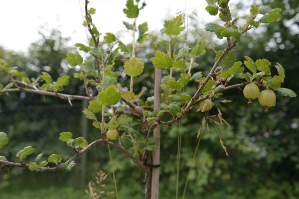 Stachelbeeren
